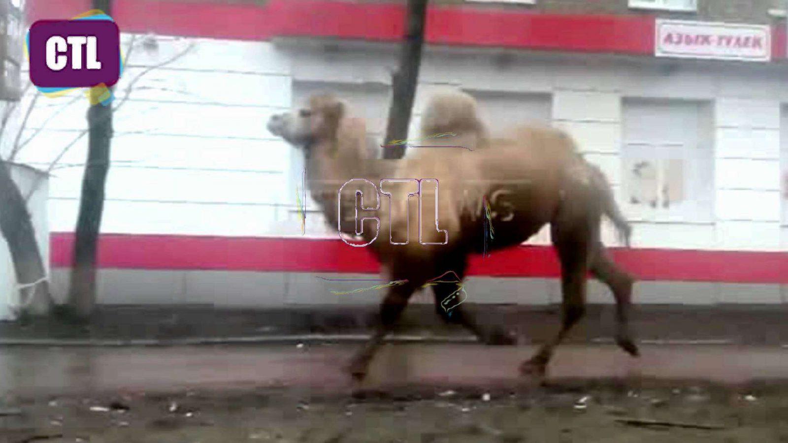 Iš Kauno zoologijos sodo pabėgo kupranugaris Joškė! Būkite atidūs Kauno gatvėse!