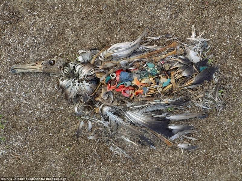 Mirusio albatroso kūne – krūva šiukšlių. Visa tai žmonės išmeta kiekvieną dieną.