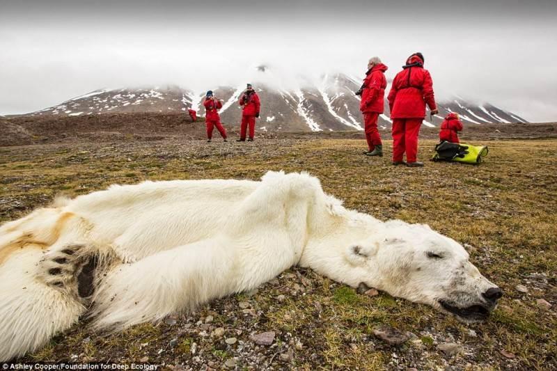 Baltasis lokys priverstas badauti Svalbarde, Norvegijoje. Tirpstantys ledynai atima iš šių gyvūnų ir gyvenamąjį plotą, ir maistą.